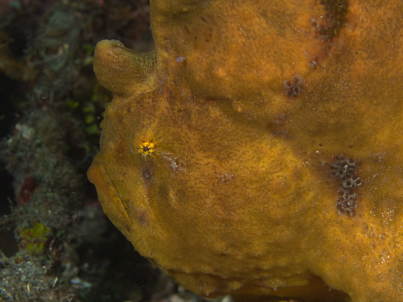 Photo at Jahir I:  Commerson's frogfish