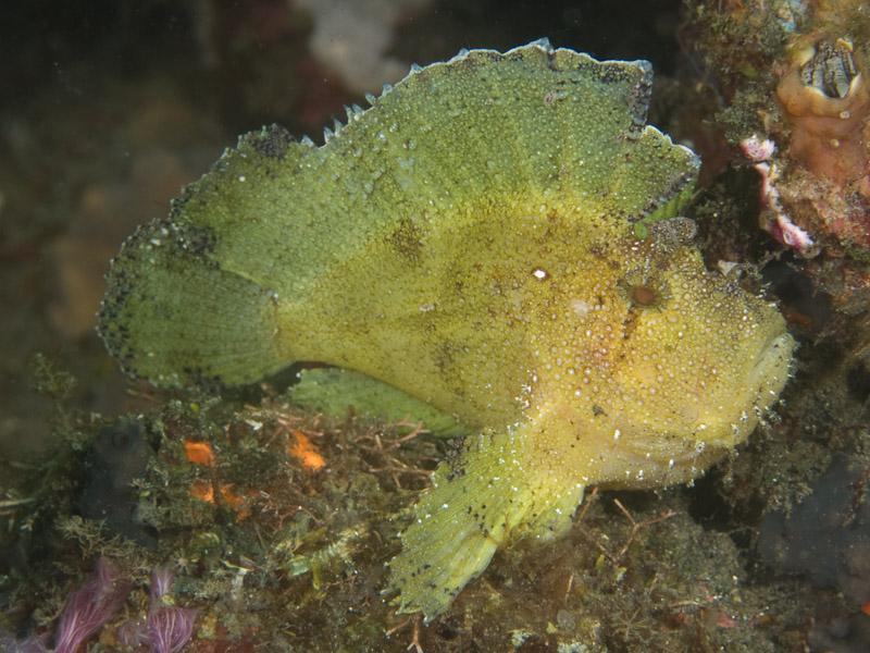 Photo at Jahir I:  Leaf scorpionfish