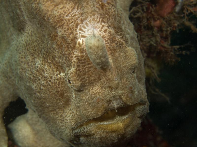 Photo at Teluk Kembulah II:  Frogfish