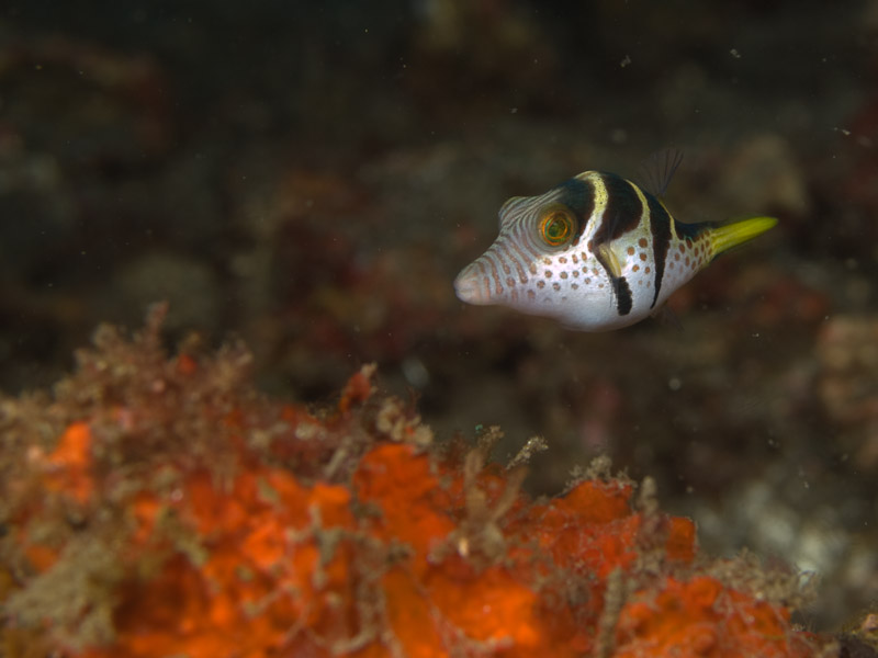 Photo at Teluk Kembulah II:  Valentinni's sharpnose puffer