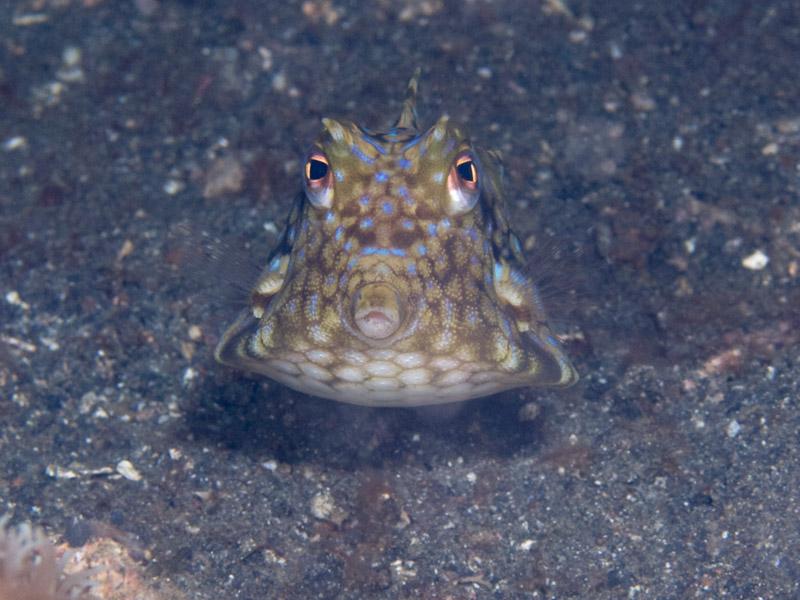 Photo at Teluk Kembulah II:  Thornback cowfish