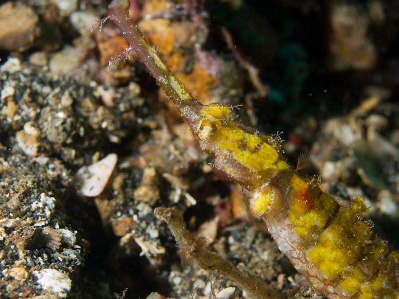 Photo at Nudi's Retreat:  Ornate pipefish