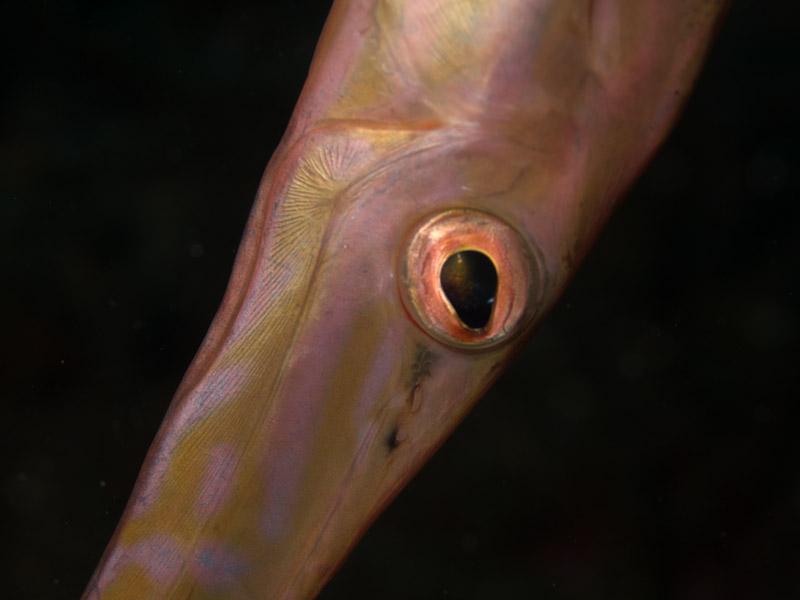 Photo at Nudi's Retreat:  Chinese trumpetfish