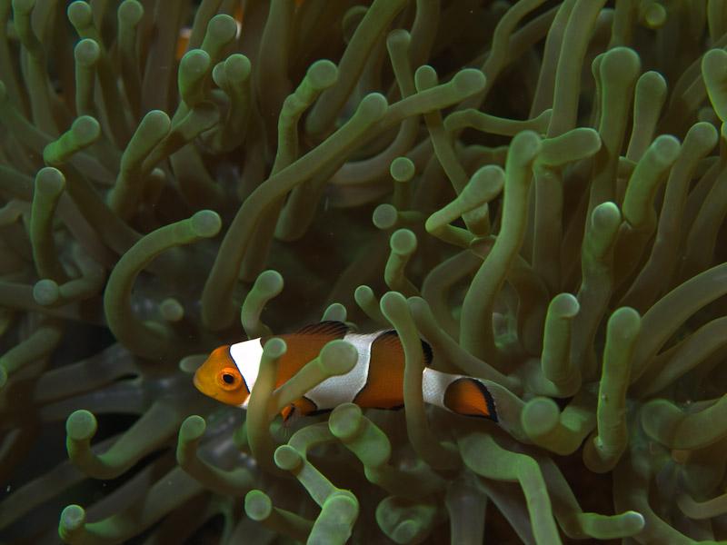 Photo at Nudi's Retreat:  Clown anemonefish