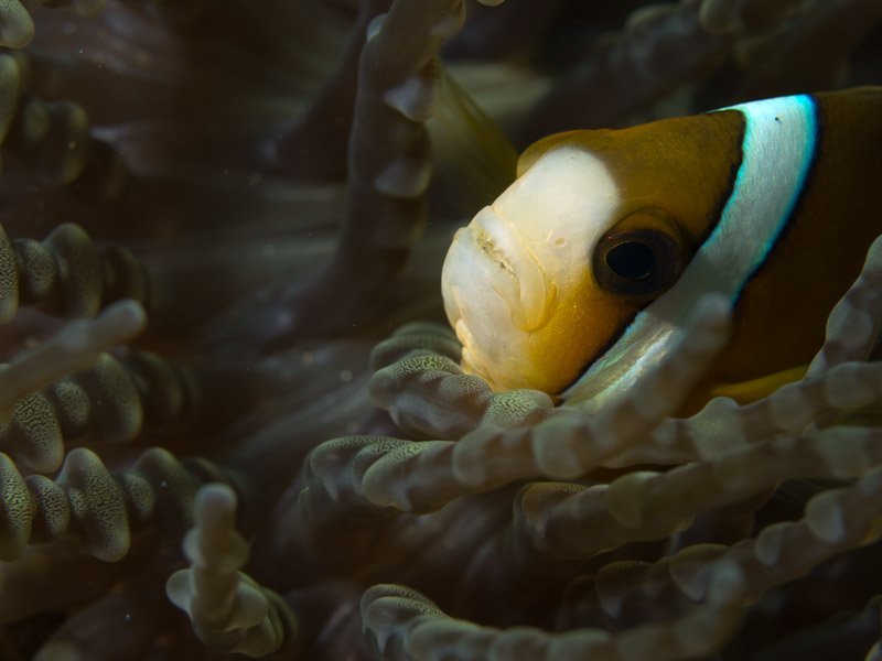 Photo at Nudi's Retreat:  Yellowtail clownfish