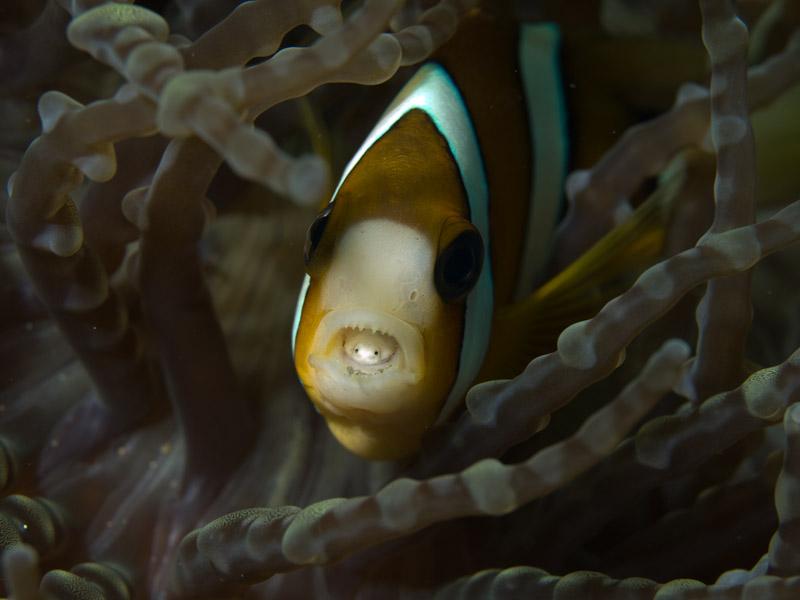 Photo at Nudi's Retreat:  Yellowtail clownfish