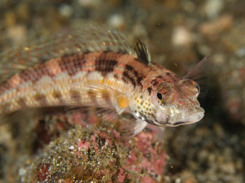 Photo at Teluk Kembulah I:  U-mark sandperch