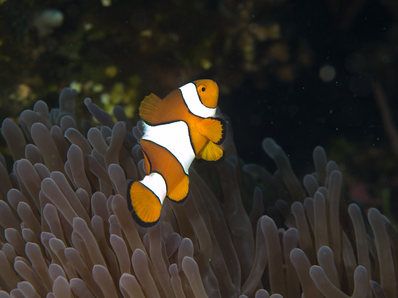 Photo at Teluk Kembulah I:  Clown anemonefish
