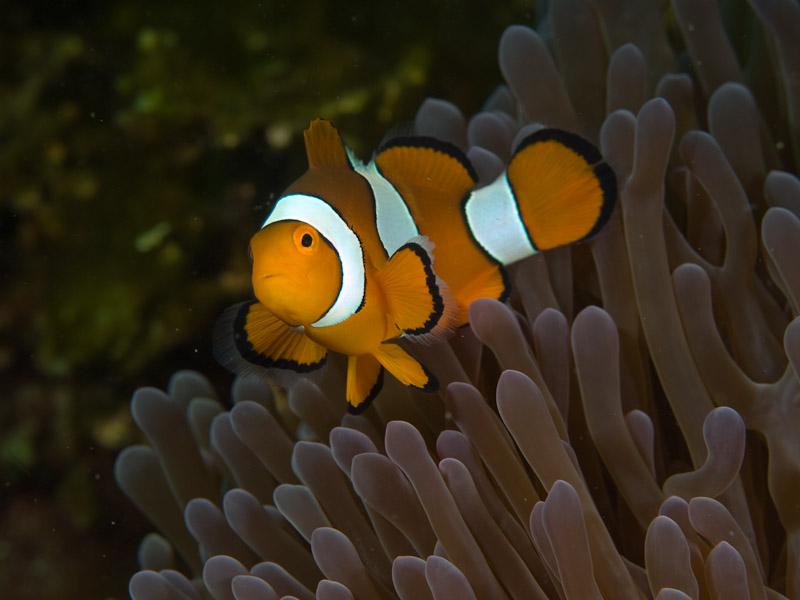 Photo at Teluk Kembulah I:  Clown anemonefish