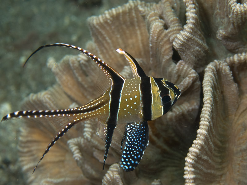Photo at Teluk Kembulah I:  Banggai cardinalfish