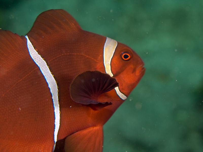 Photo at Teluk Kembulah I:  Spinecheek anemonefish
