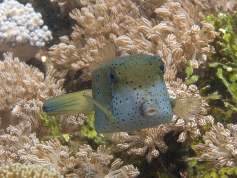 Photo at Teluk Kembulah I:  Horn-nosed boxfish