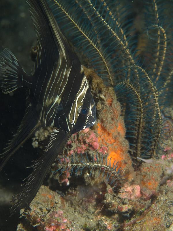 Photo at Aer Prang:  Humpback batfish