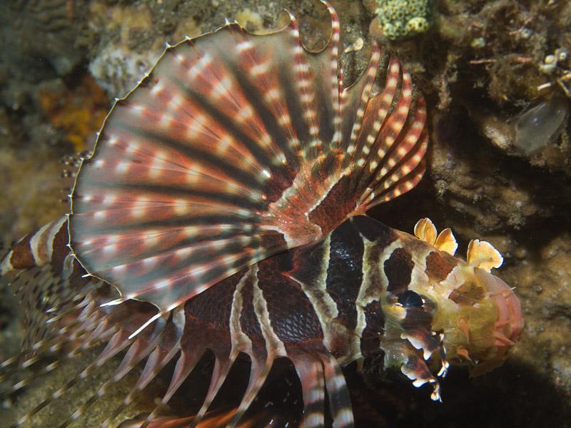 Photo at Aer Prang:  Zebra turkeyfish