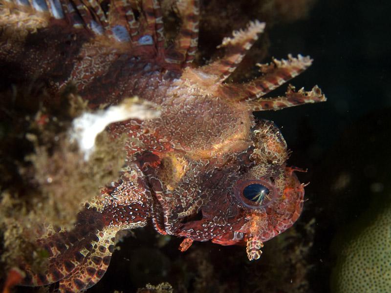 Photo at Aer Prang:  Shortfin turkeyfish