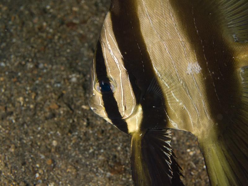 Photo at Police Pier:  Humpback batfish
