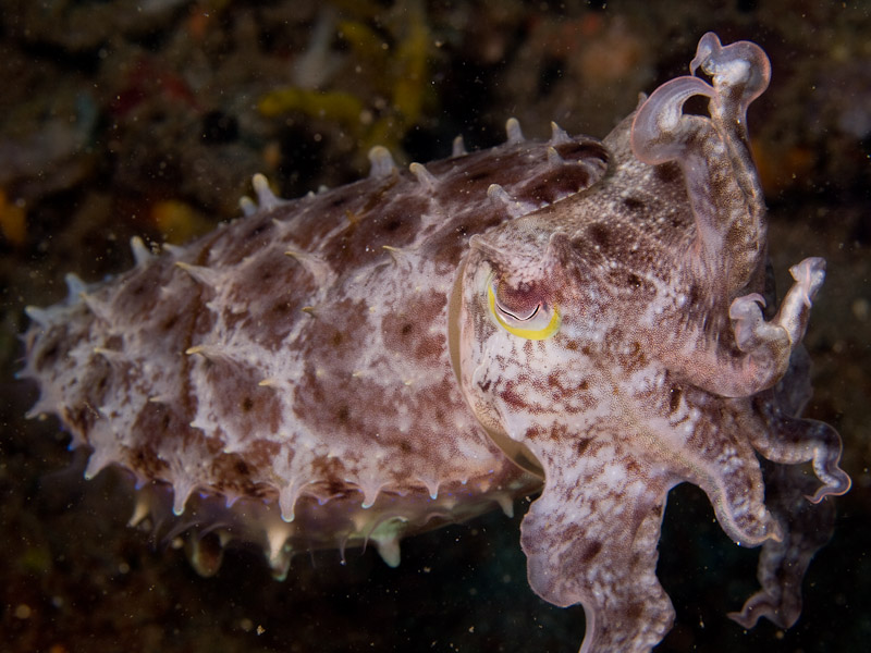 Photo at Police Pier:  Broadclub cuttlefish