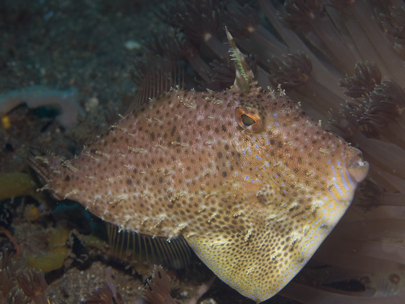 Photo at Police Pier:  Strap-weed filefish