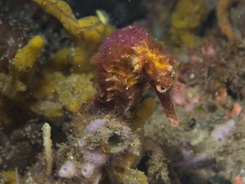 Photo at Police Pier:  Thorny seahorse