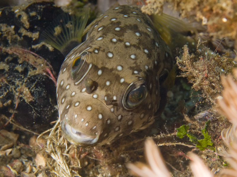 Photo at Police Pier:  White-spotted puffer