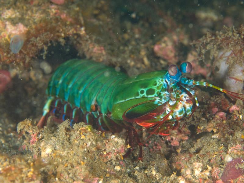 Photo at Magic Crack:  Peacock Mantis shrimp