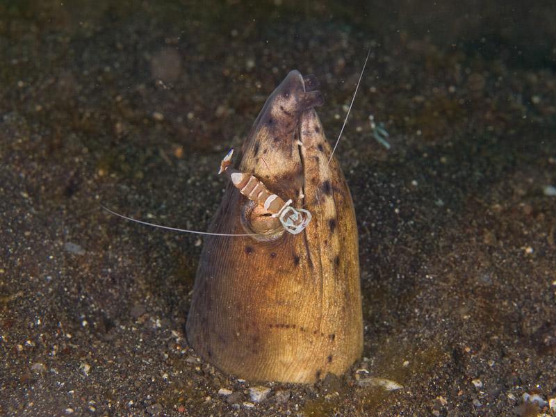 Photo at Magic Crack:  Highfin snake eel