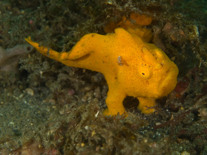 Photo at Magic Crack:  Commerson's frogfish