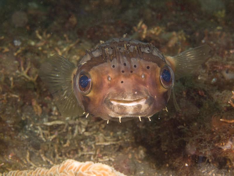 Photo at Magic Crack:  Long-spine porcupinefish