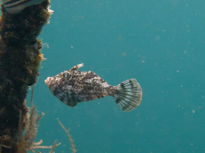 Photo at Magic Crack:  Strap-weed filefish