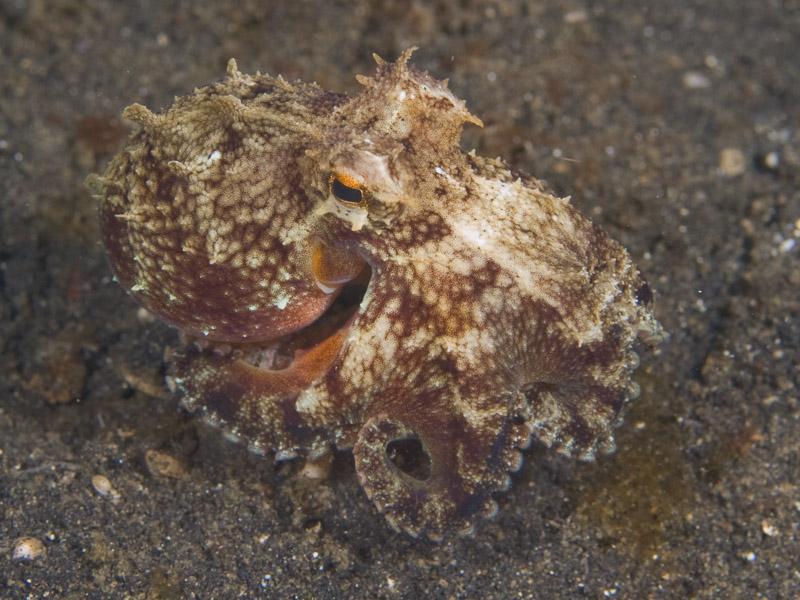 Photo at Teluk Kembulah III:  Marginated octopus
