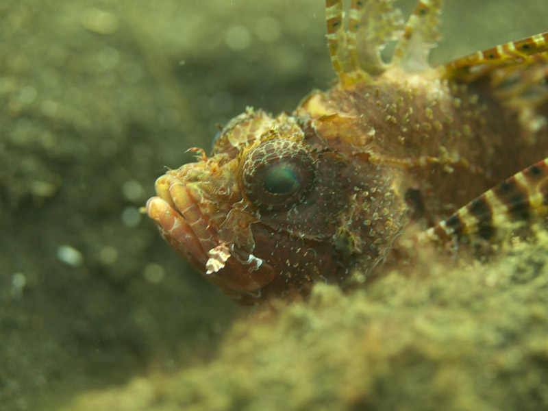 Photo at Teluk Kembulah III:  Shortfin turkeyfish