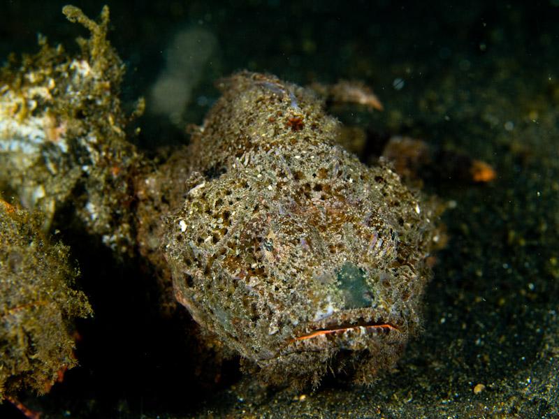 Photo at Teluk Kembulah III:  False stonefish