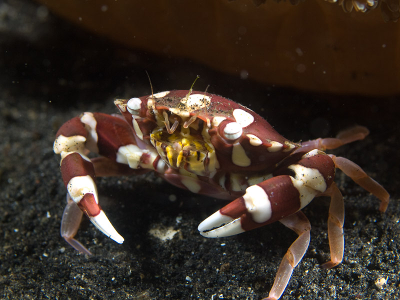Photo at Teluk Kembulah III:  Swimming crab