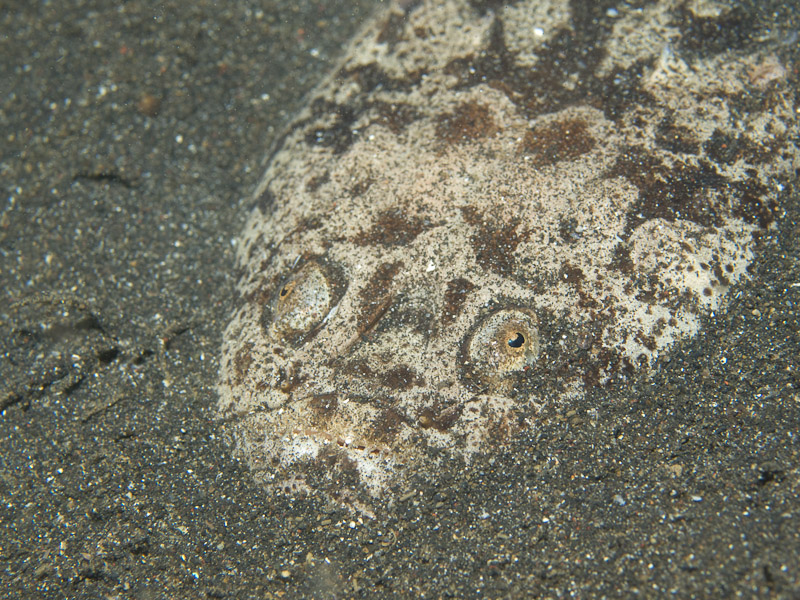 Photo at Jahir II:  Reticulate stargazer