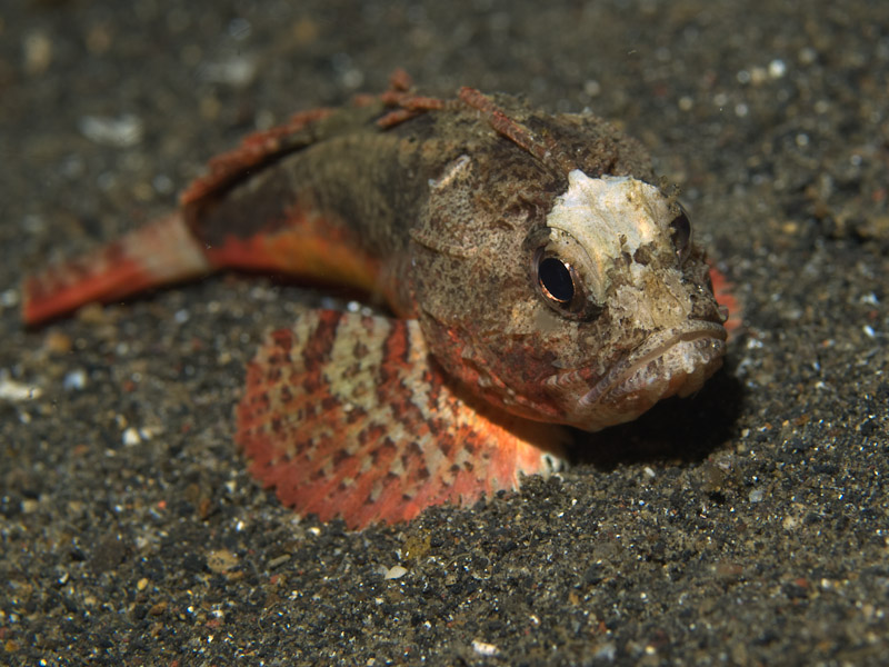 Photo at Jahir II:  Whiteface waspfish