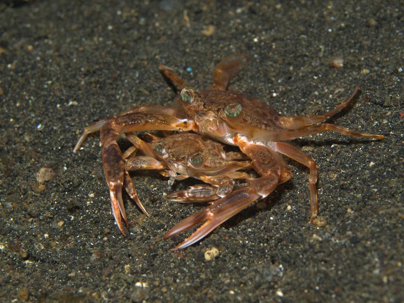 Photo at Jahir II:  Swimming crab