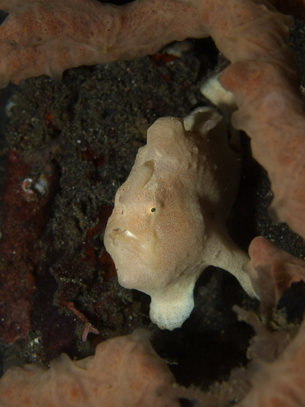 Photo at Jahir II:  Commerson's frogfish