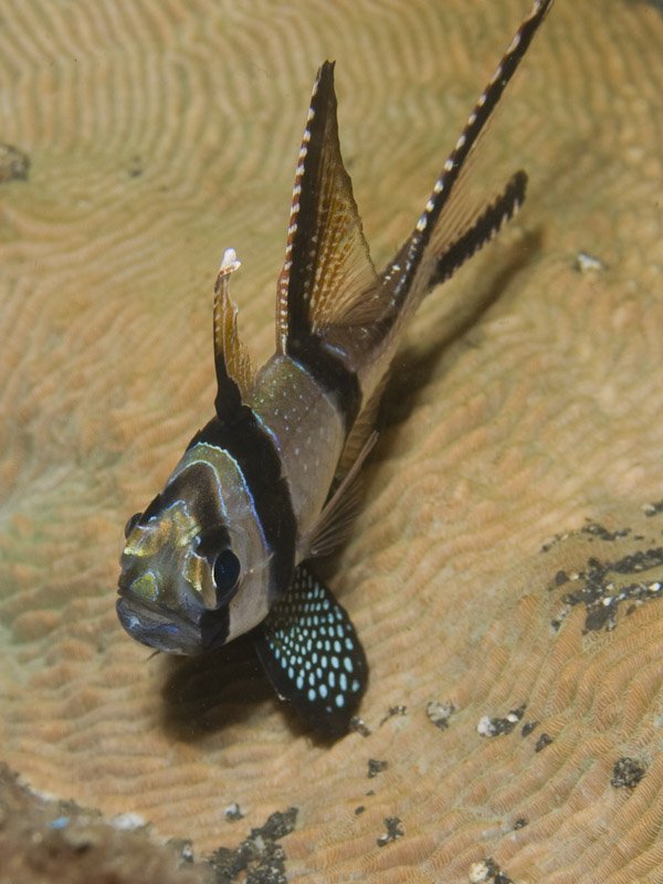 Photo at Jahir II:  Banggai cardinalfish