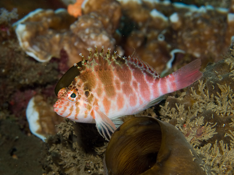 Photo at KBR House Reef:  Dwarf hawkfish