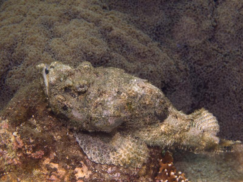 Photo at KBR House Reef:  False stonefish