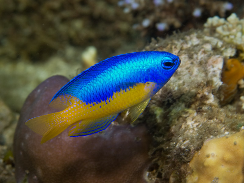 Photo at KBR House Reef:  Goldbelly damsel