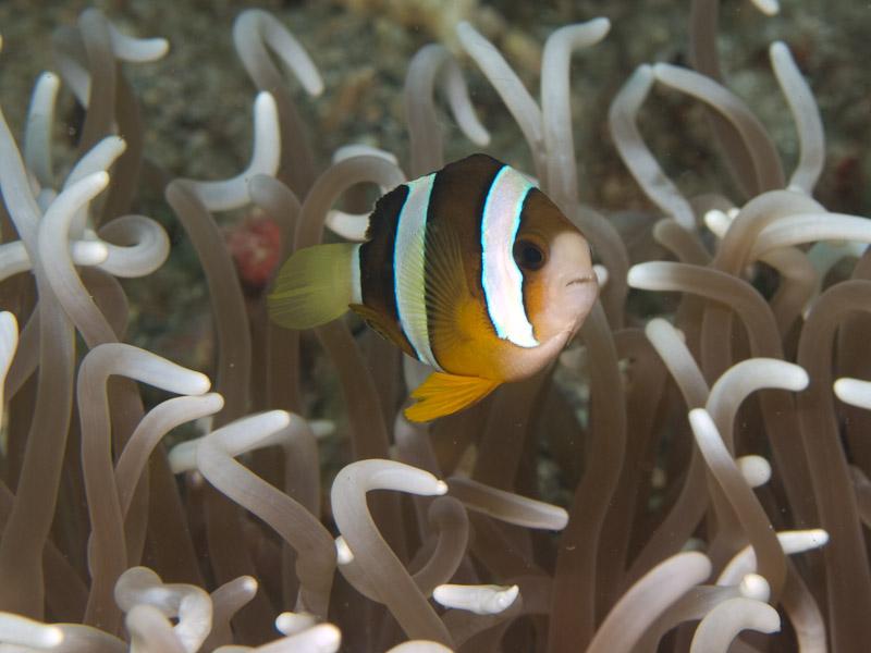Photo at KBR House Reef:  Yellowtail clownfish