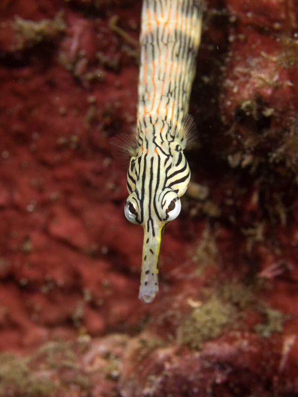 Photo at KBR House Reef:  Network pipefish