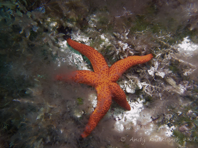 Photo at Um-El-Faroud:  Red sea star