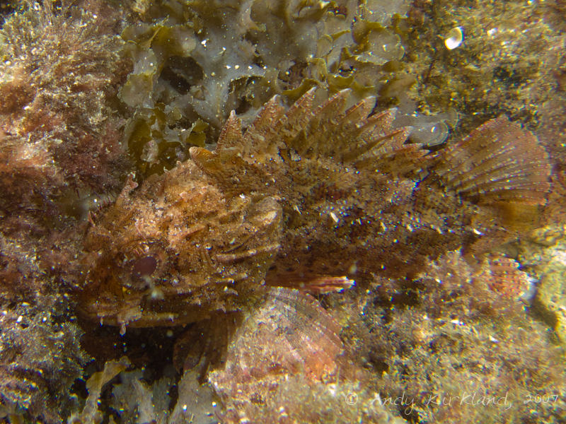 Photo at Popeye Village:  Largescaled scorpionfish,Small rockfish
