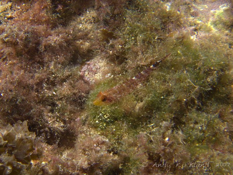 Photo at Popeye Village:  Small triplefin