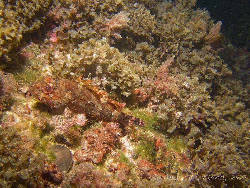 Photo at Popeye Village:  Largescaled scorpionfish