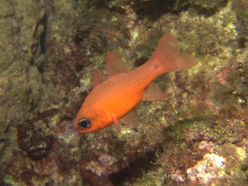 Photo at Popeye Village:  Cardinalfish