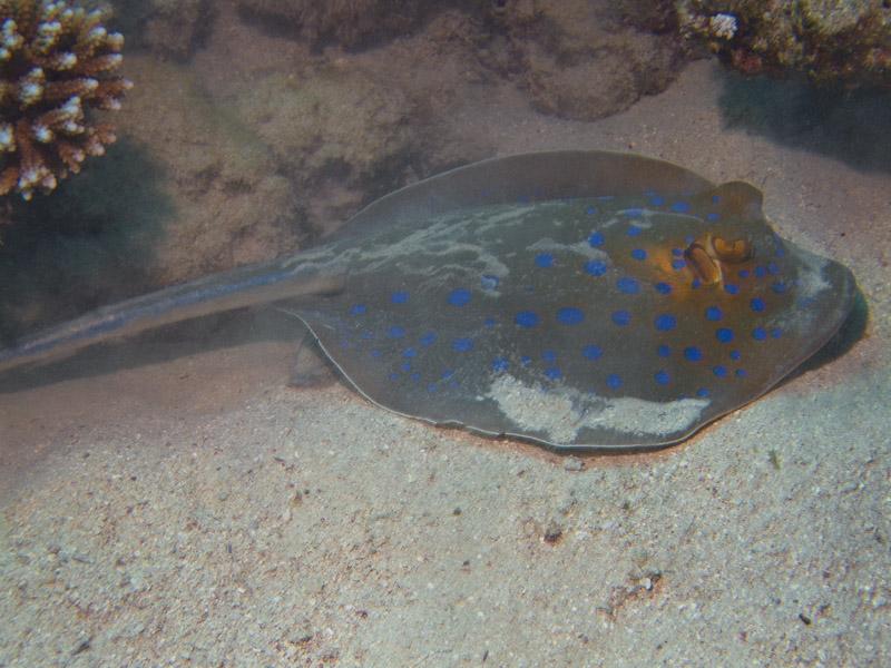 Photo at Ras El Torfa:  Bluespotted ribbontail ray