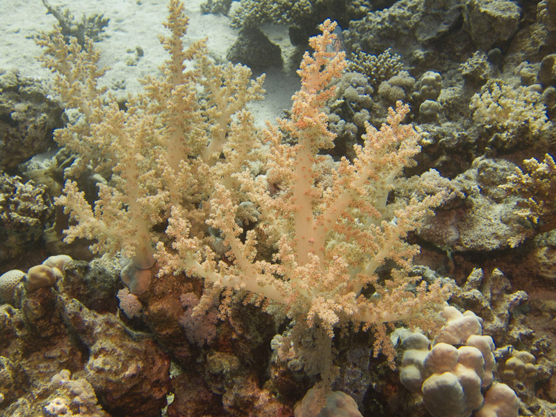 Photo at Ras El Torfa:  Broccoli coral